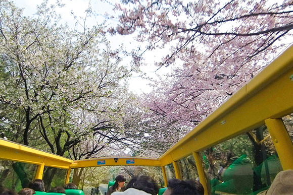 Sakura Cherry Blossom Viewing from an Open Top Bus in Tokyo - 2