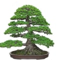 Shunkaen Bonsai