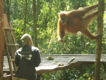 See Endangered Orangutans in the Wild