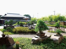 Best Japanese Bonsai Tour in Saitama Omiya Bonsai Village
