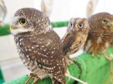 "Reservation for Lovely Owl Cafe ""Fukuro no Mise"" in Osaka"