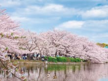 Cherry Blossom Tour – Half Day Sakura Highlights by Bus
