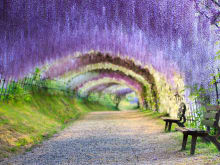 Get Tickets to Kawachi Fuji Garden, Wisterias in Fukuoka!