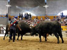 Japanese Bullfighting Private Group Experience in Uwajima