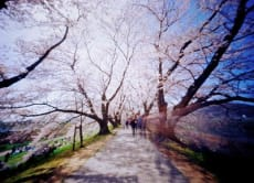 Cherry Blossom Onsen Cycling Tour (6days)