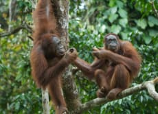 See Wild Orangutans in Kalimantan Jungle, Borneo