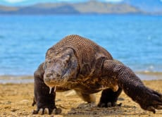 Walk With Komodo Dragons on a Komodo Island Tour (3D2N)