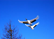 Japanese red-crowned crane observation tour in Hokkaido!