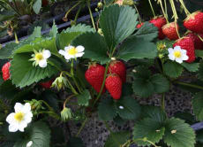 Pick and eat as many strawberries as you like in Shizuoka