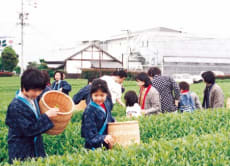 Enjoy tea picking experience in Shizuoka