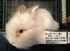 Experience Cuteness Overload at a Rabbit Cafe & a Maid Cafe