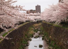 See all the Best Cherry Blossoms in Nagoya