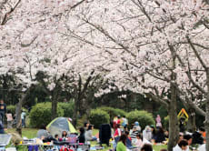 Enjoy Cherry Blossom Party and Nagoya Castle Tour