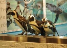 See Penguins in a bar at Ikebukuro, Tokyo!