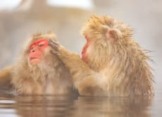 Day Tour to See Japan Snow Monkeys in Nagano's Hot Spring