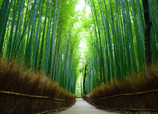 Join Kyoto Arashiyama Bamboo and Tenryu-ji Private Tour