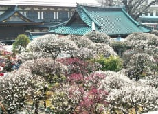 See a Plum Blossom festival with local people in Tokyo