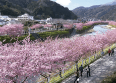Admire Kawazu cherry blossoms in style in an onsen resort!