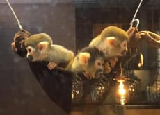 Enjoy playing with Squirrel monkeys at a bar in Ueno, Tokyo