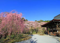 Special Luxury Cherry Blossoms Tour in Kyoto (Mar 22-23)