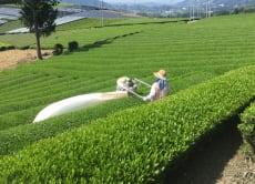 Beautiful Kyoto Tea Farm Walking Tour