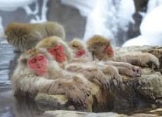 "See Snow Monkeys in ""Jigokudani Yaen-koen"" & Obuse Town"