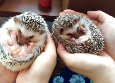 Play with cute hedgehogs at a cafe in Harajuku, Tokyo!