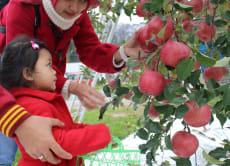 Enjoy apple picking experience in Iiyama, Nagano