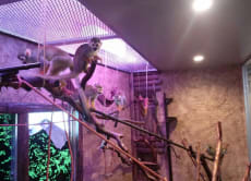 Enjoy playing with Squirrel monkeys at a bar in Naha