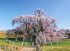 See Miharu Takizakura & Willow Cherry Blossoms in Fukushima