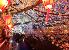Night Hanami (Cherry Blossom) Experience in Nakameguro