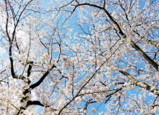 1-Day Sakura Cherry Blossom Group Bus Tour in Tokyo