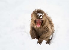Nagano's Snow Monkeys and Cultural Tour From Shiga Kogen