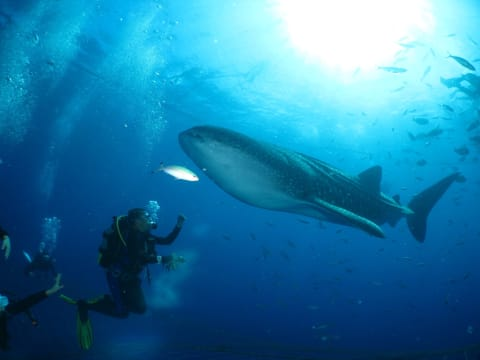 Enjoy Snorkeling with Whale Sharks in Okinawa!