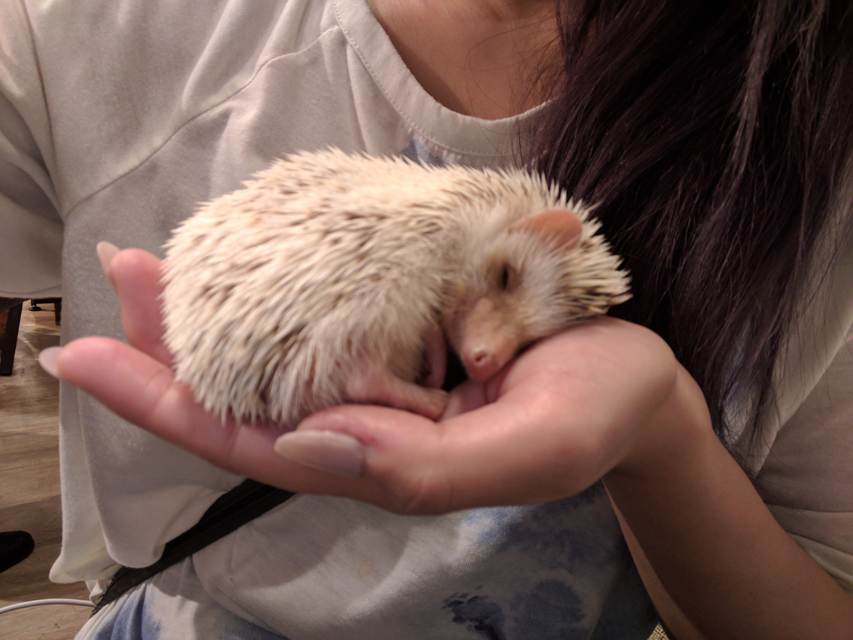 Play with Cute Hedgehogs at a Cafe in Roppongi, Tokyo ...
