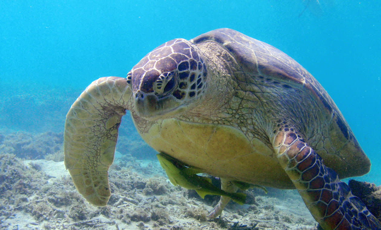 Snorkeling With Sea Turtles in Tokashiki Island's Lagoon