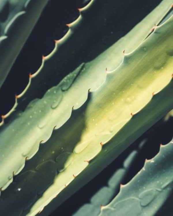 Image ofHow to Make Your Own Aloe Vera Gel