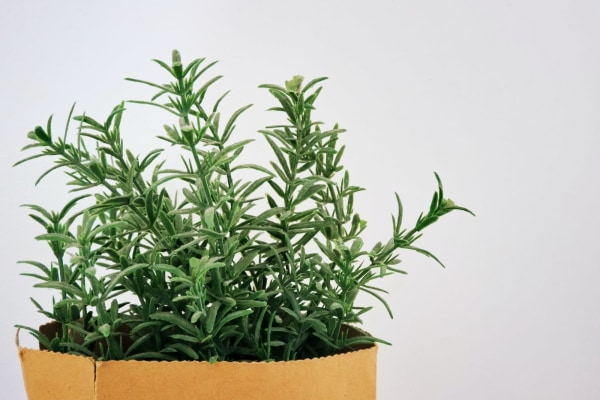 Image of How To Infuse Rosemary in Olive Oil
