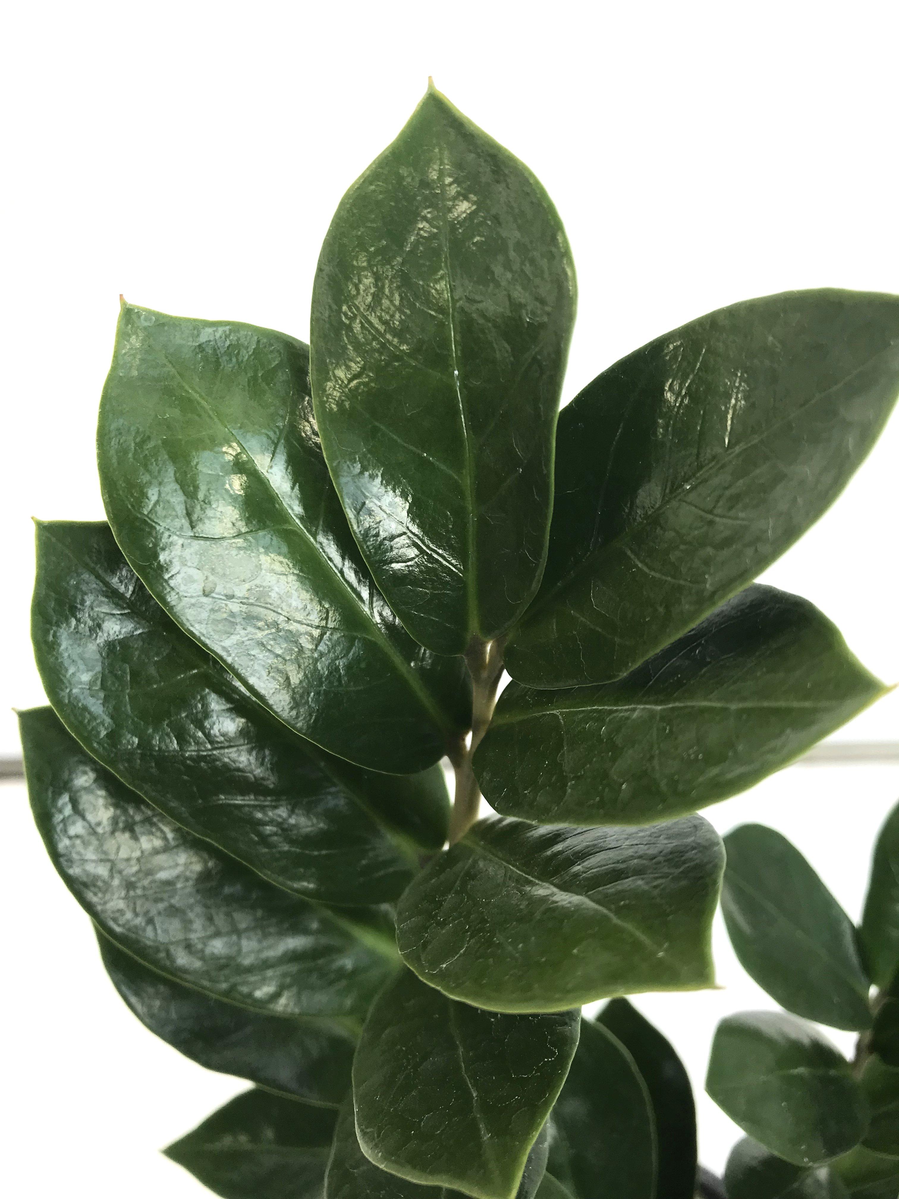 観葉植物 ザミオクルカス ザミフォーリア 4号育成鉢 1鉢 - 6