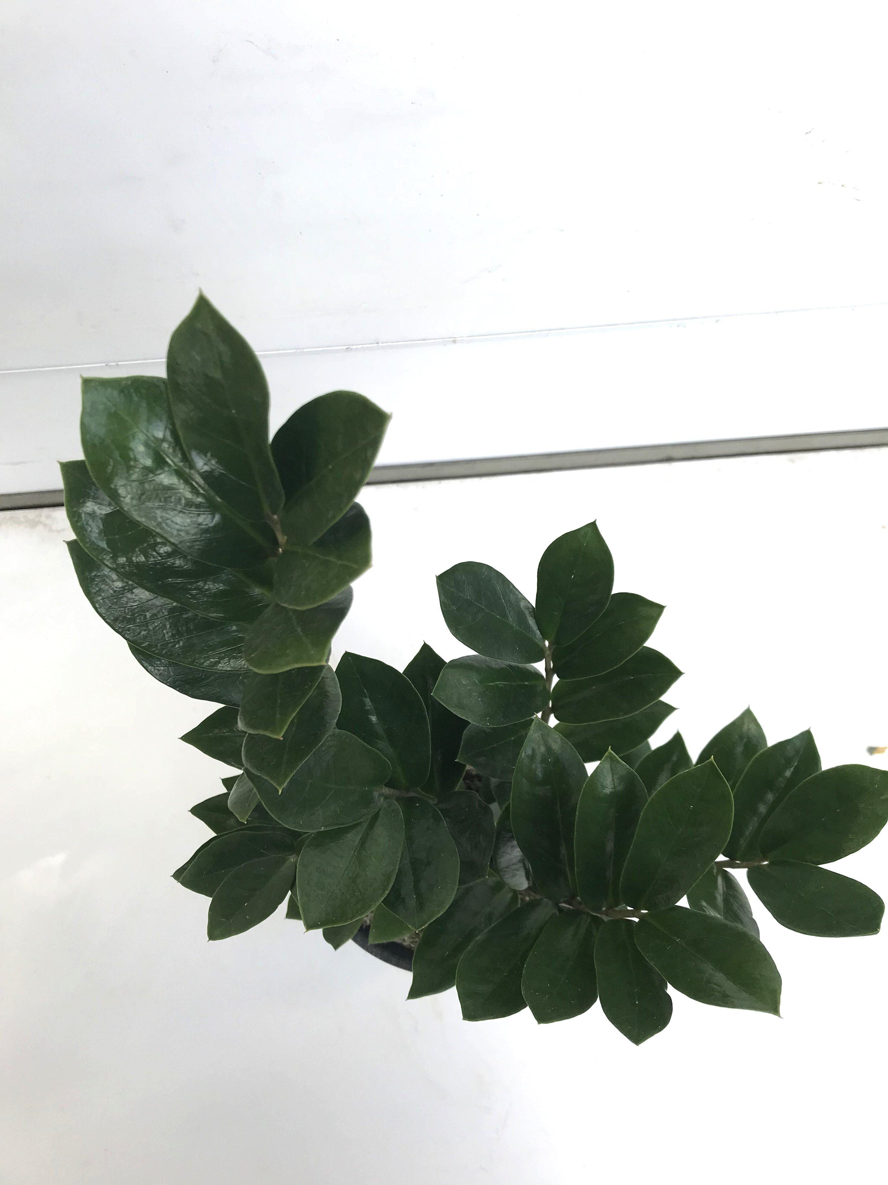 観葉植物 ザミオクルカス ザミフォーリア 4号育成鉢 1鉢 - 2