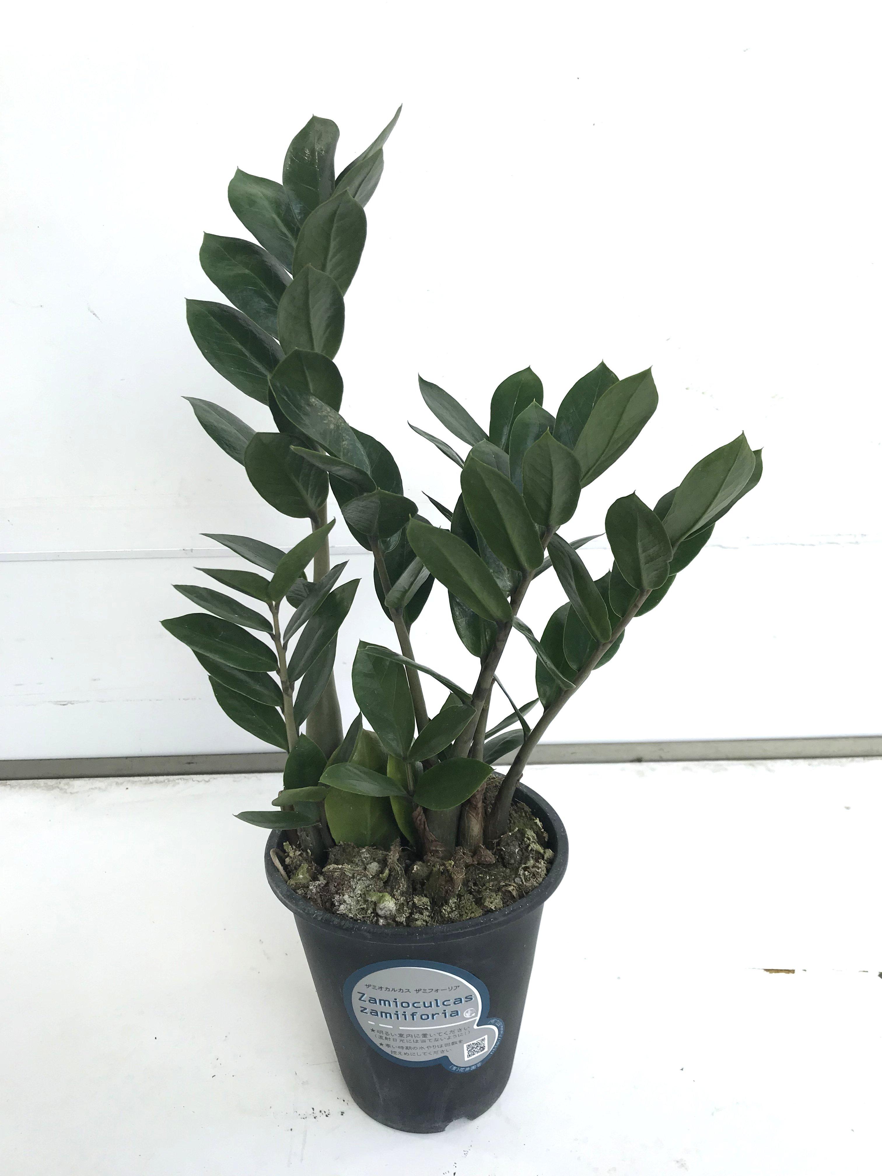 観葉植物 ザミオクルカス ザミフォーリア 4号育成鉢 1鉢 - 5