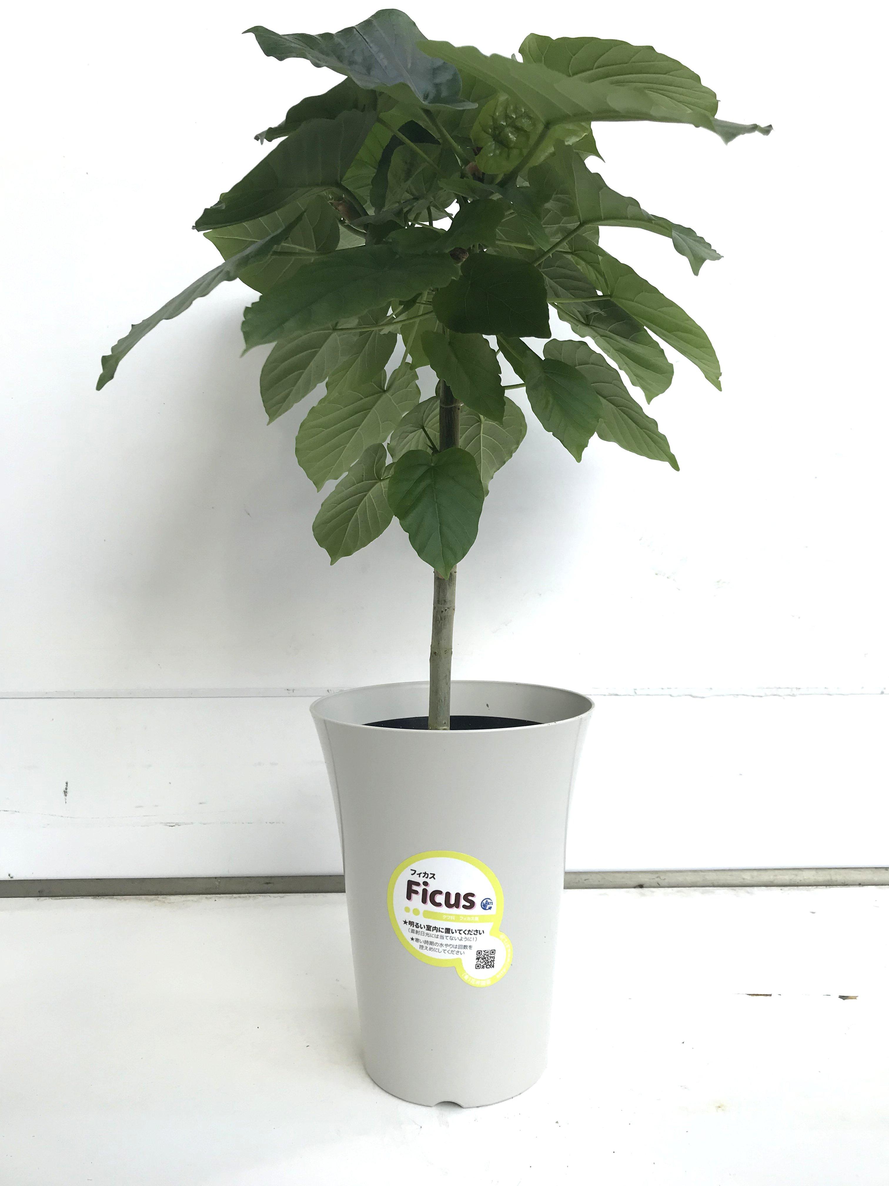 観葉植物 フィカス ウンベラータ 6号鉢 - 5