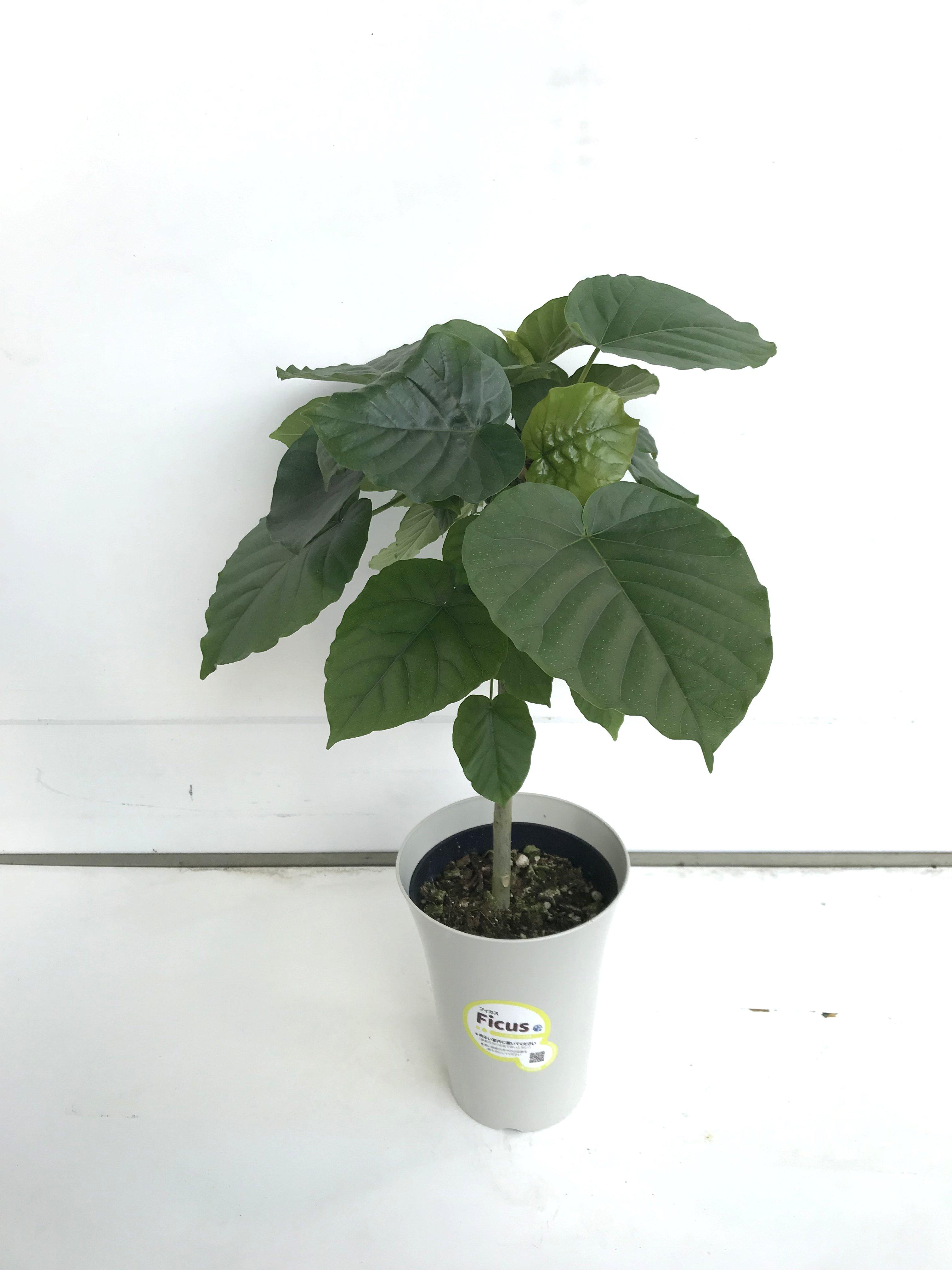 観葉植物 フィカス ウンベラータ 6号鉢 - 4