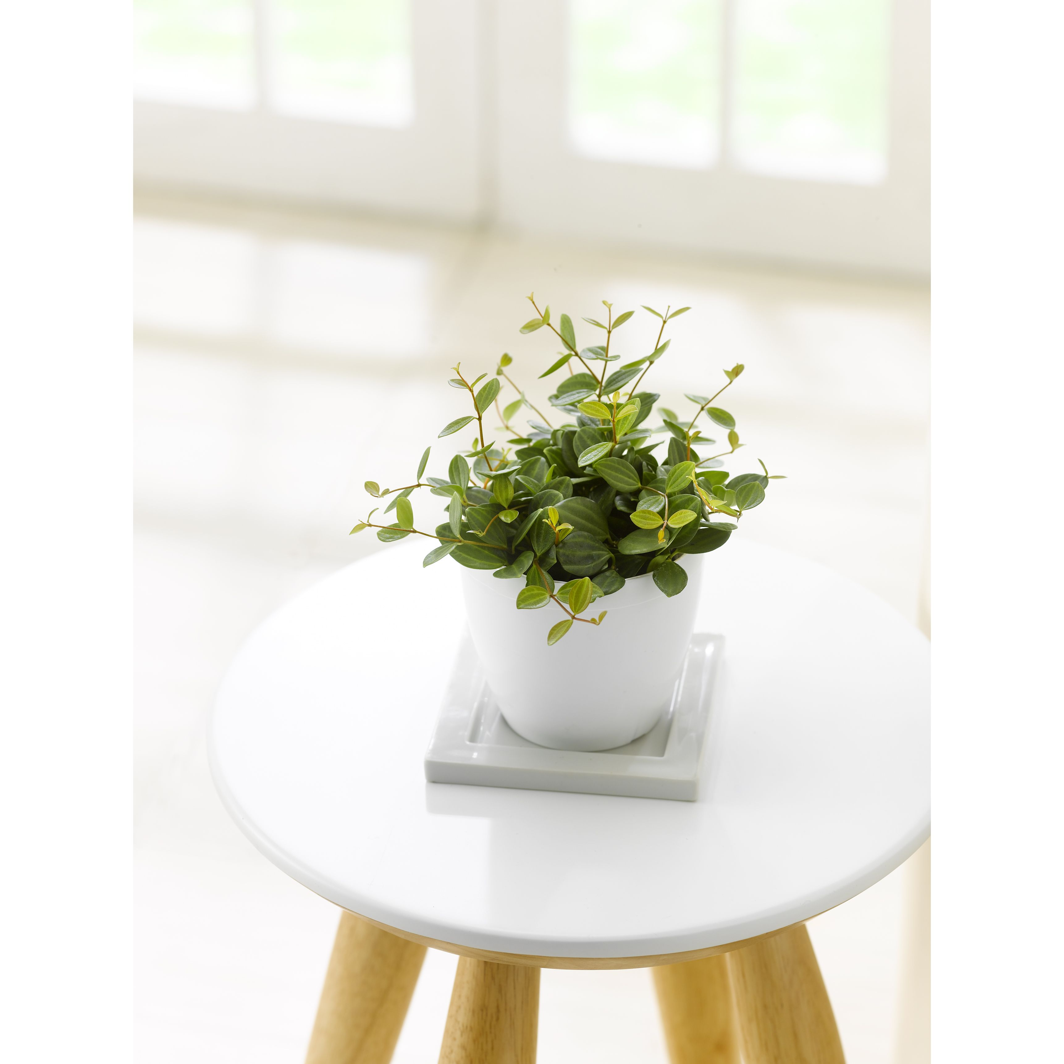 ペペロミア アングラータ 3号 白鉢 - 1