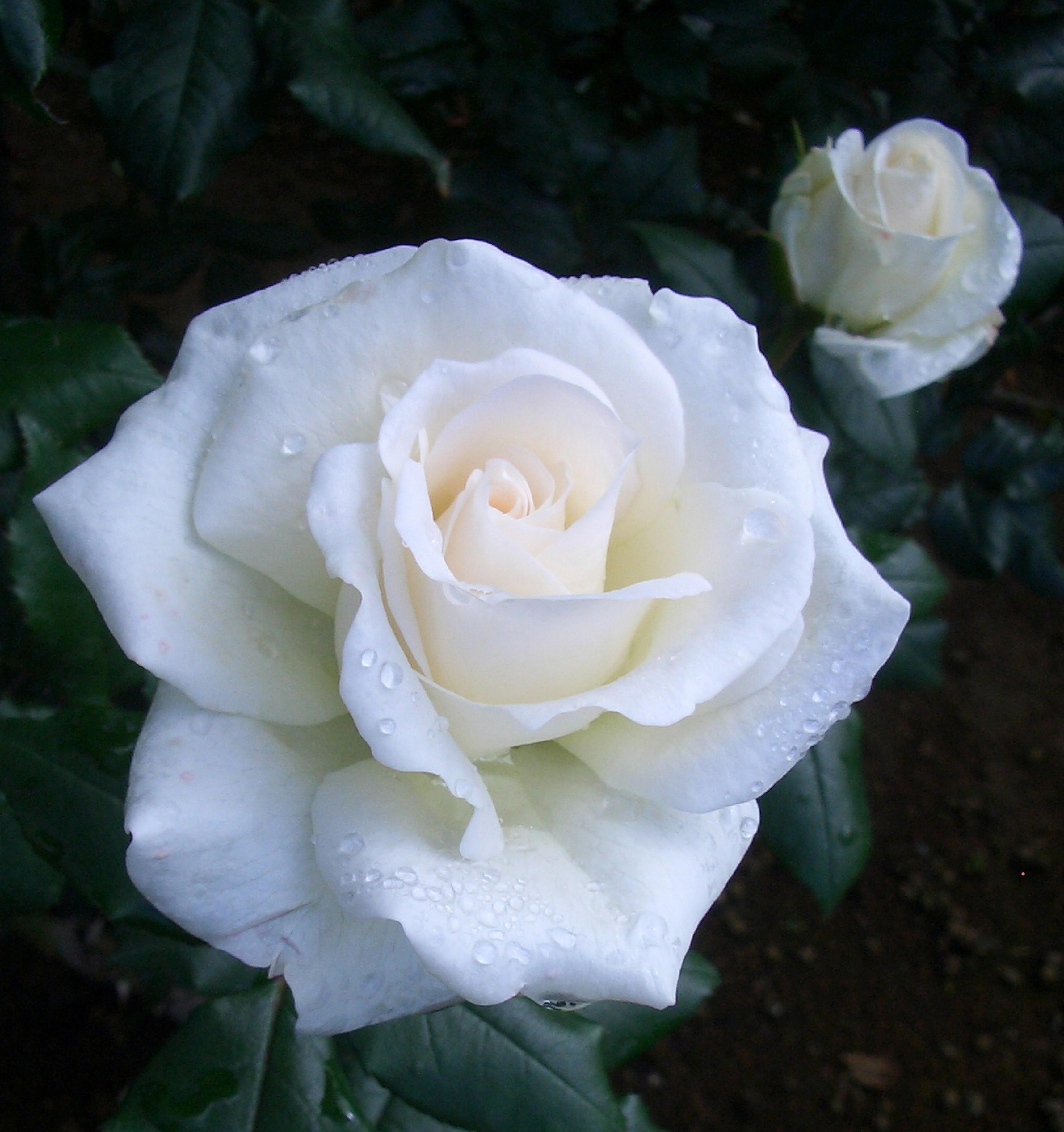 バラ アイスバーグ 二年生苗 1株 - 1