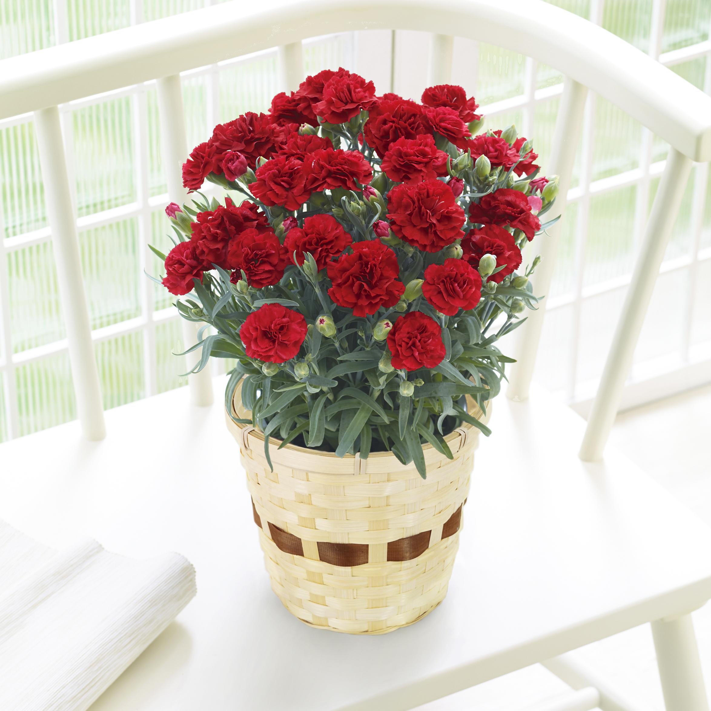 【今ならマスク1枚プレゼント付】母の日 カーネーション鉢植え 赤/レッド 5号鉢 1鉢 - 1