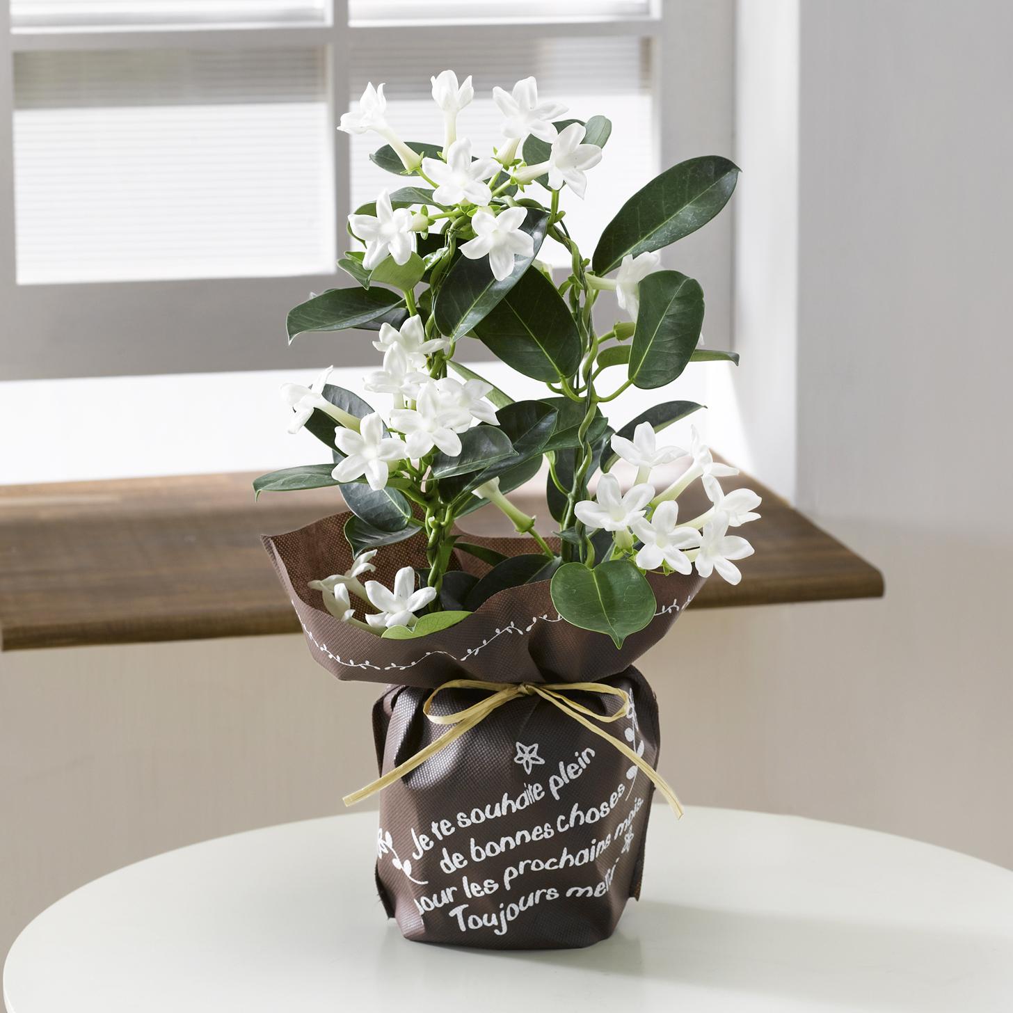 【今ならマスク1枚プレゼント付】母の日 マダガスカルジャスミン 4号鉢 1鉢 - 1