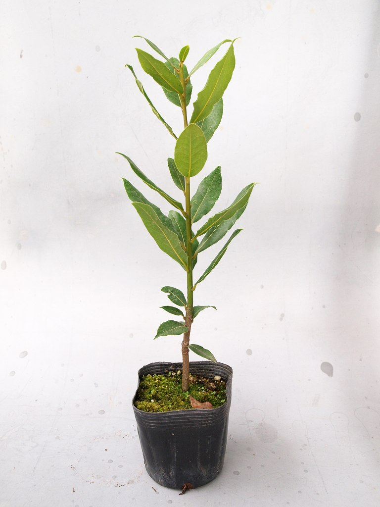 月桂樹 苗木 - 4