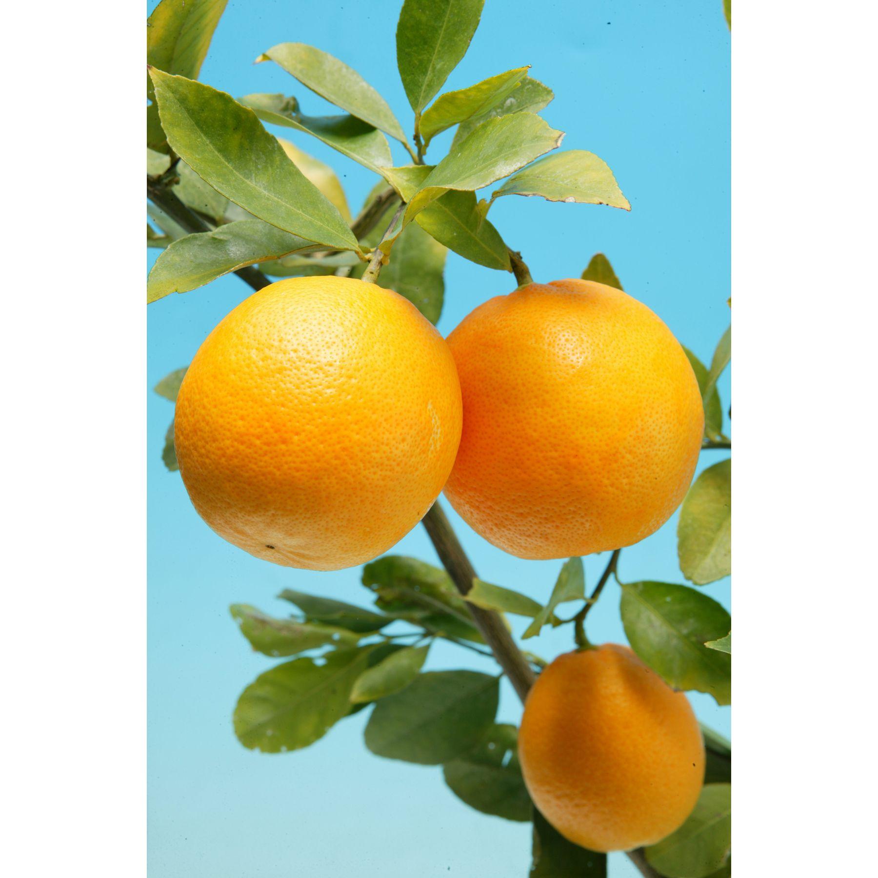 甘~いレモン!人気の果樹苗! レモン スイートレモネード 3号 苗2株 - 1