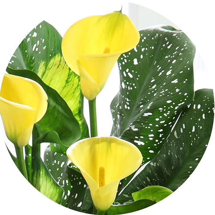 【遅れてごめんね】母の日 カラー キャピテイン ソロ 黄色系 5号鉢 - 2